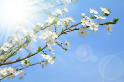 Spring blossoms cherry tree Stock Photo