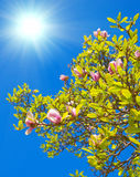 Spring blossoms of Chinese magnolia tree. A Spring blossoms of Chinese magnolia tree stock photos