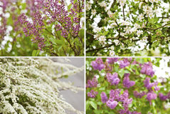 Spring blossoms. Flower bokeh. Set of 4 different spring blossoms: lilac bokeh, white flowering,  apple tree blooming -  shallow depth of field Royalty Free Stock Images