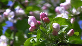 Spring blossoms in the garden. Apple tree twig with pink and white blossoms swinging against blurred green foliage stock video footage