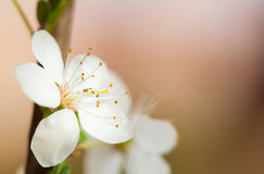 Spring blossoms Royalty Free Stock Image