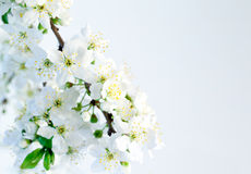Spring blossoms isolated on white background Royalty Free Stock Image