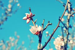 Spring blossoms macro Royalty Free Stock Image
