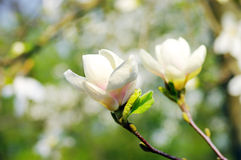 Spring Blossoms of a Magnolia Royalty Free Stock Photo