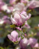 Spring Blossoms of a Magnolia tree Stock Images