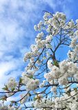 Spring blossoms Stock Image