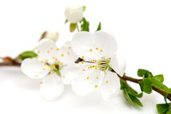Spring blossoms over white Stock Photo