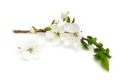 Spring blossoms over white Stock Images