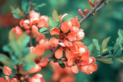 Spring blossoms, pink flowers of almonds Stock Photos