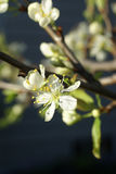 Spring blossoms, plum tree Stock Photo