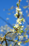 Spring blossoms, plum tree flowering Stock Images