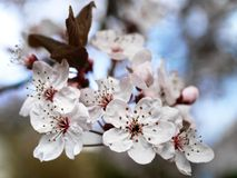 Spring Blossoms Royalty Free Stock Photos