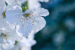 Spring blossoms with selective focus - abstract Royalty Free Stock Image