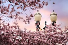 Spring blossoms with streetlamp Royalty Free Stock Photography