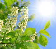 Spring blossoms tree Royalty Free Stock Photo