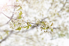 Spring blossoms tree, flowers blooming Royalty Free Stock Photo