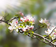 Spring blossoms tree, flowers blooming Royalty Free Stock Photos