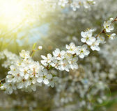 Spring blossoms tree. Stock Photography