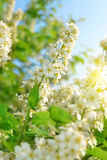 Spring blossoms tree Stock Image