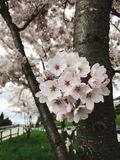 Spring blossoms on the tree Stock Photos