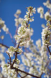 Spring Blossoms stock images