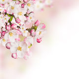 Spring blossoms on white background Stock Images