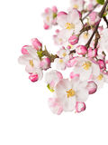 Spring blossoms on white background Royalty Free Stock Images