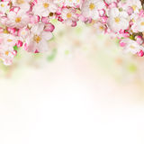 Spring blossoms on white background. Free space for text Stock Photo