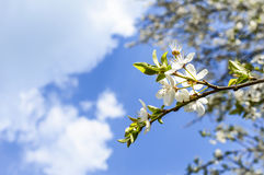 Spring Blossoms. White Spring Blossoms ON Blue Sky Stock Photo