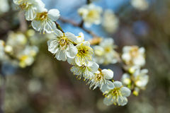 Spring blossoms. White cherry background  Flowers saring Stock Photos