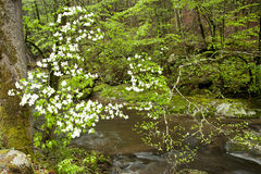Spring blossoms of white dogwood. Royalty Free Stock Photography