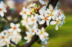 Spring blossoms Royalty Free Stock Photography