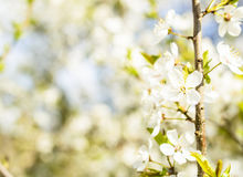 Spring Blossoms. White Spring Blossoms In Sunlight Royalty Free Stock Images