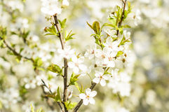 Spring Blossoms. White Spring Blossoms In Sunlight Stock Photography
