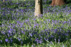 Spring blue bell flowers. A virtual carpet of pretty spring blue bell flowers in a grassy area Stock Photo
