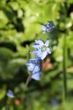 Spring blue bells Royalty Free Stock Image