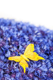 Spring blue cornflower with yellow butterfly Stock Photo