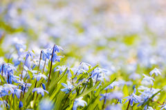 Spring blue flowers. Closeup of early spring blue flowers wood squill blooming in sunny springtime meadow with copy space stock photo