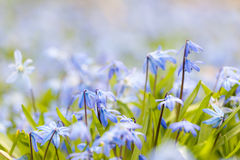 Spring blue flowers. Closeup of early spring blue flowers wood squill blooming in sunny springtime meadow with copy space stock images