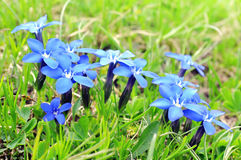Spring blue gentians Stock Photography