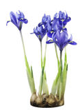 Spring  blue irises grow from bulbs Royalty Free Stock Images