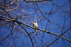 Spring blue jay. Blue jay sitting on the tree branch Stock Image