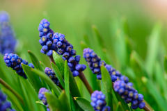 Spring blue muscari neglectum flowers, shallow depth of field Stock Images
