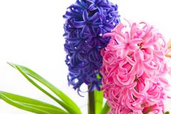 Spring hyacinth flower on white background. Spring blue and pink hyacinth flower on white background Royalty Free Stock Photo