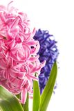 Spring hyacinth flower on white background. Spring blue and pink hyacinth flower on white background Stock Photography