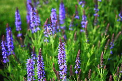 Spring Blue Sage Royalty Free Stock Images