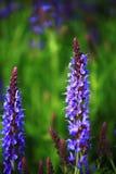 Spring Blue Sage Closeup Royalty Free Stock Image