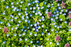 Spring blue small flowers background Royalty Free Stock Image