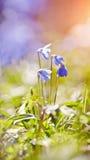 Spring blue snowdrop - a Scilla Siberica Stock Photos