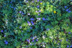Spring blue wild flowers. And green foliage background Stock Images